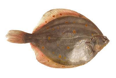 Nordsee Scholle Fischlexikon / Blog