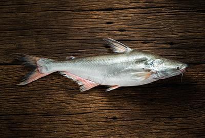 Pangasius Fisch Blog