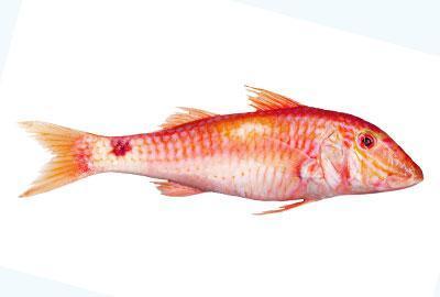 Rote Meerbarbe Fischlexikon / Blog