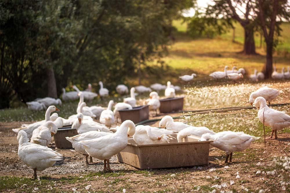 Haltung und Zucht von Barbarie Enten auf einer Entenfarm